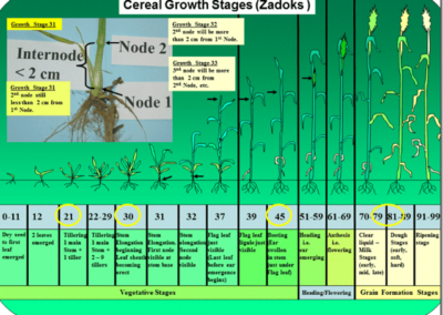 cereal growth stages[1]-min